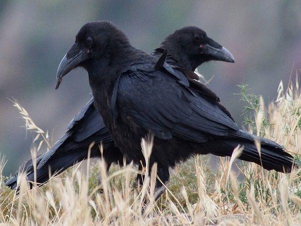 Mơ thấy quạ đen là điềm báo điều gì?