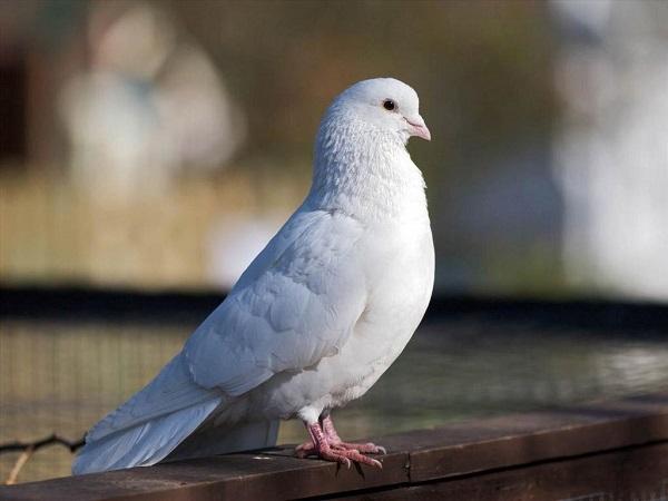 Phân tích ý nghĩa giấc mơ thấy chim bồ câu