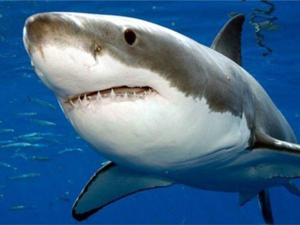 Mơ thấy cá mập báo mộng điềm gì? Đánh con xổ số nào?