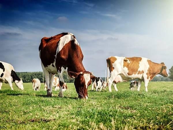 Mơ thấy con bò điềm báo lành hay dữ?